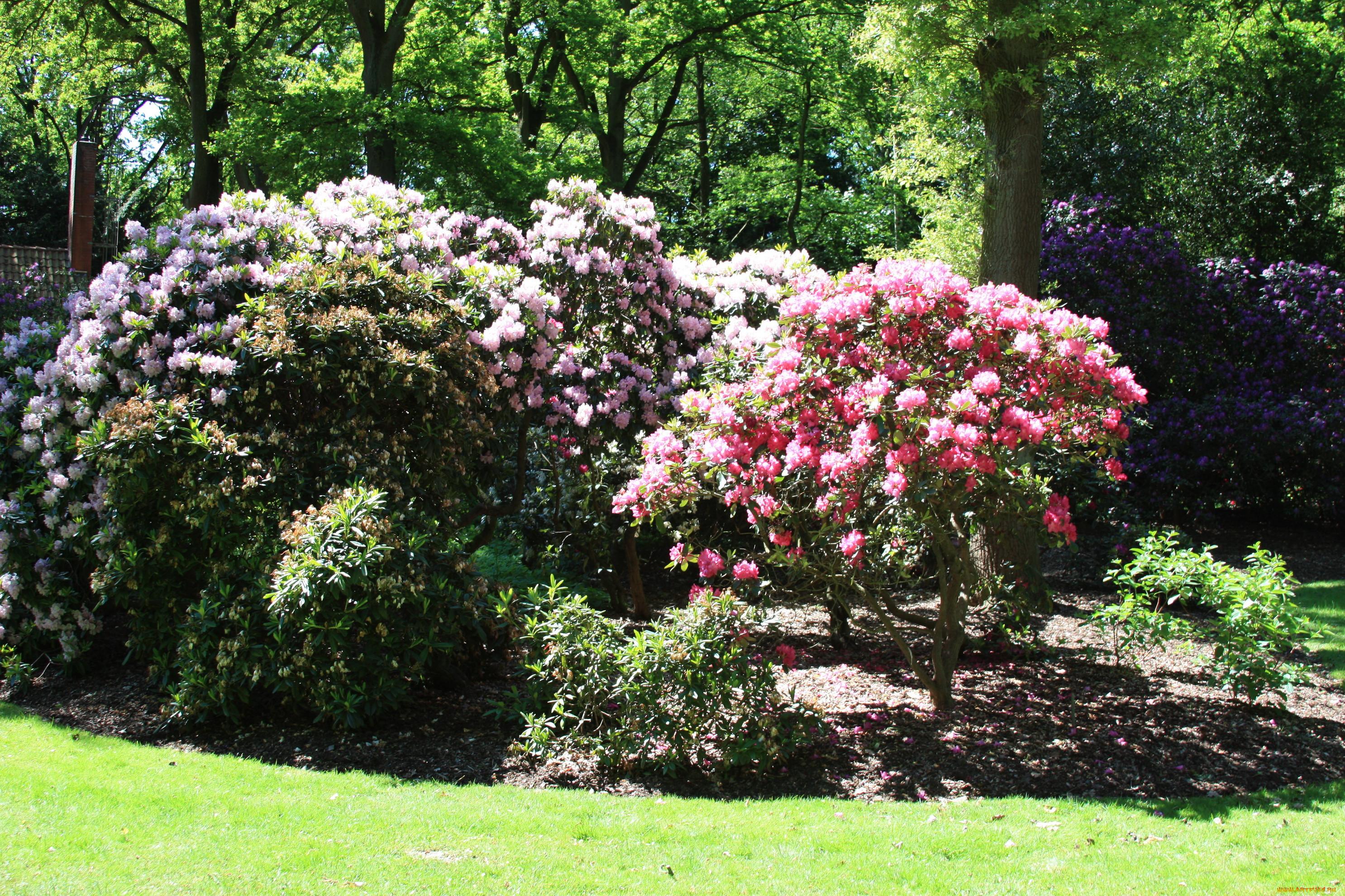 Обои рододедрон, кусты, парки. Цветы foto 16